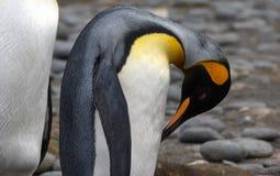 Singola fine del pinguino di re su in Georgia Antarctica del sud Immagine Stock