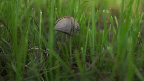 Singola fine sola del fungo sulla crescita nell'erba verde concetto della foresta di mattina nel piccolo ma forte Macro funghi stock footage