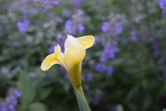 Singola fioritura gialla del fiore di Canna immagini stock