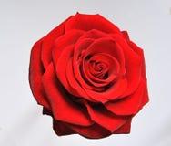 Singola fioritura rossa della Rosa fotografie stock