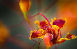 Singola fioritura sbalorditiva dell'uccello del paradiso messicano Fotografia Stock Libera da Diritti