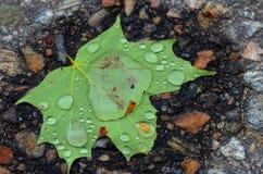 Singola foglia di acero verde con le gocce di acqua su  fotografia stock libera da diritti