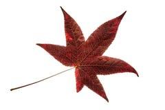 Singola foglia rossa isolata dell'albero del liquidambar Immagini Stock Libere da Diritti