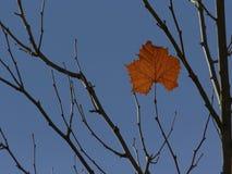 Singola foglia sulla cima d'albero Fotografia Stock