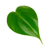 Singola foglia verde Immagine Stock