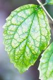 Singola foglia verde con le grandi vene visibili Immagine Stock Libera da Diritti