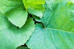 Singola foglia verde con le grandi vene visibili Fotografia Stock