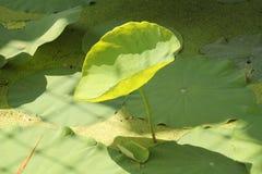 Singola foglia verde del loto Immagine Stock