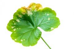 Singola foglia verde di Pellargonium, geranio isolato su fondo bianco fotografia stock libera da diritti