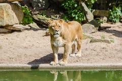 Singola leonessa sulla sabbia Immagini Stock