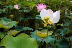 Singola Lotus Flower Elegantly Bloom in uno stagno tropicale naturale i fotografia stock