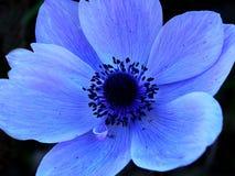 Singola macro blu del fiore Fotografie Stock Libere da Diritti