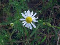 Singola margherita in fioritura Fotografia Stock