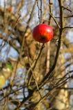 Singola mela su un albero Immagini Stock