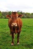 Singola mucca Immagine Stock