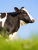 Singola mucca dell'Holstein Fotografia Stock Libera da Diritti