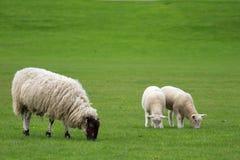 Singola pecora e due agnelli che pascono in un campo Immagine Stock
