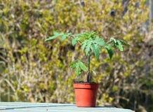 Singola pianta di pomodori matura in un vaso Immagini Stock