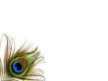 Singola piuma del pavone - isolata Immagine Stock