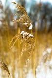 Singola piuma di Reed con neve Fotografia Stock