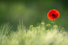 Singola Poppy On selvaggia pittoresca un fondo di grano maturo Papavero rosso selvatico, colpo con una profondità di campo bassa, Immagini Stock