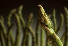 Singola punta dell'asparago con altre nella priorità bassa Fotografia Stock