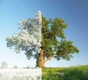 Singola quercia sul prato. Immagine Stock
