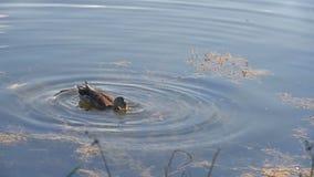 Singola ricerca di Duck Swimming And Diving In di alimento in lago video d archivio