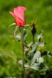Singola Rosa Immagine Stock