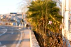 Singola Rosa Fotografia Stock Libera da Diritti