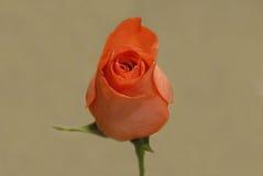 Singola Rosa Fotografie Stock