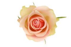 Singola Rosa arancio su fondo bianco Fotografie Stock Libere da Diritti