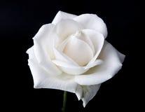 Singola Rosa bianca Fotografia Stock