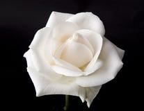 Singola Rosa bianca Fotografie Stock Libere da Diritti