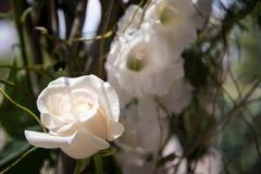 Singola rosa di bianco in una decorazione all'aperto di nozze Fotografie Stock