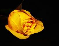 Singola Rosa gialla Immagini Stock Libere da Diritti