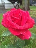 Singola Rosa rossa Immagine Stock Libera da Diritti
