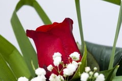 Singola Rosa rossa Fotografia Stock