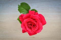 Singola rosa rossa con la foglia verde Immagine Stock