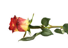 Singola rosa rossa gialla isolata Fotografie Stock