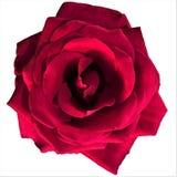 Singola rosa rossa su un fondo bianco immagini stock libere da diritti