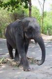 Singola vecchia passeggiata asiatica femminile dell'elefante immagine stock libera da diritti