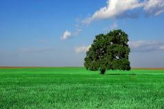 Singola vecchia quercia alta sul campo di estate Fotografia Stock Libera da Diritti