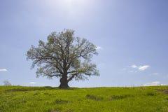 Singola vecchia quercia e luce solare in maggio. Fotografia Stock