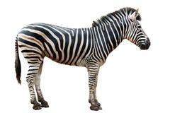 Singola zebra del burchell del giardino zoologico isolata Fotografie Stock Libere da Diritti