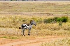 Singola zebra nel campo nel parco nazionale di Serengeti Fotografia Stock
