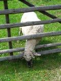 Singole pecore fotografia stock