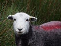 Singole pecore che esaminano macchina fotografica Immagine Stock