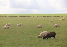 Singole pecore nere che pascono con le pecore bianche Immagine Stock