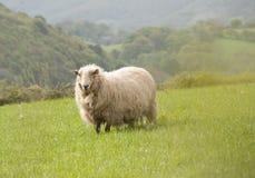 Singole pecore in prato Immagini Stock